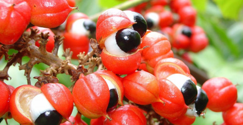 Know more about Guarana