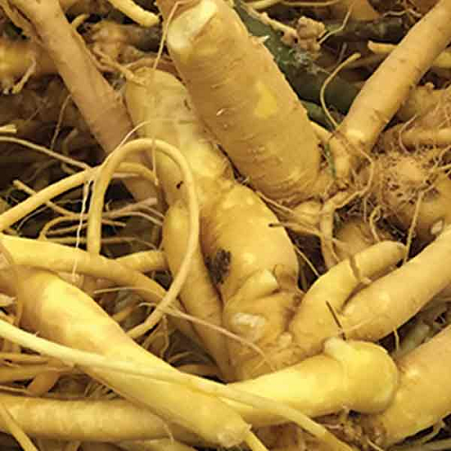Raw Material (Roots) to make Paffia Paniculata Powder and Extract